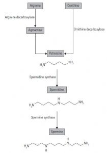Figure 1. Polyamines structures and biosynthesis pathway.